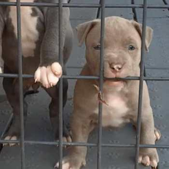 Chicago Pit Bull Rescue