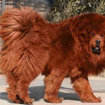 Chinese Mastiff For Sale