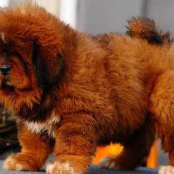 Chinese Tibetan Mastiff Puppies For Sale