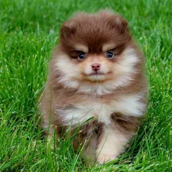 Chocolate Pomeranian Puppies For Sale