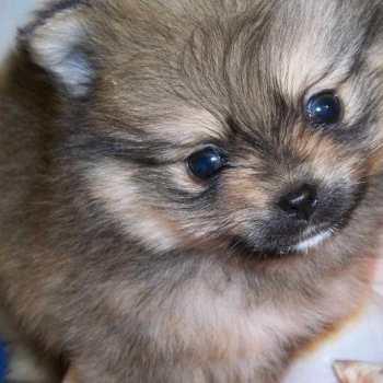 Ckc Pomeranian Puppies For Sale