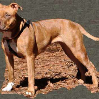 Classic American Pitbull Terrier Kennels