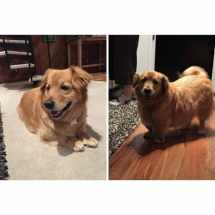 Golden Retriever Basset Hound Corgi Mix Imgurl
