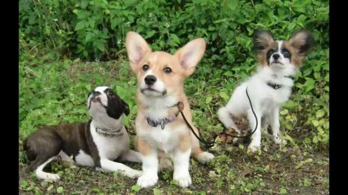 Corgi Puppies Boston