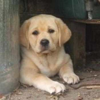 Cost Of A Labrador Puppy