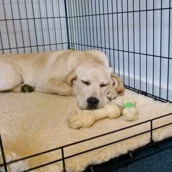 Crate For Labrador