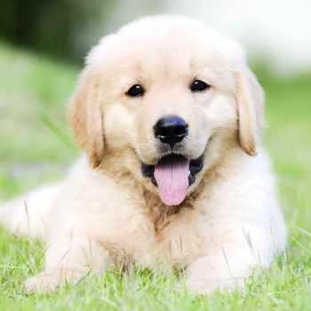 Dog Golden Retriever Puppy For Sale