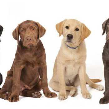Dogs Labrador Retriever