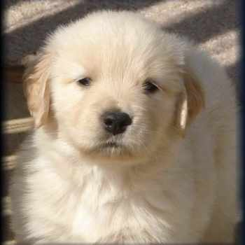 East Tennessee Golden Retriever Rescue