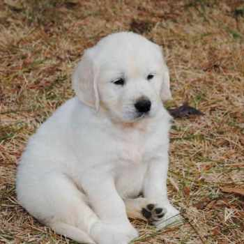 English Cream Golden Retriever Puppies Washington