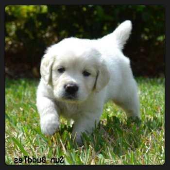 English Cream Labrador Puppies For Sale