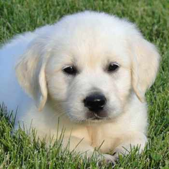 English Golden Retriever Puppies For Sale In Texas