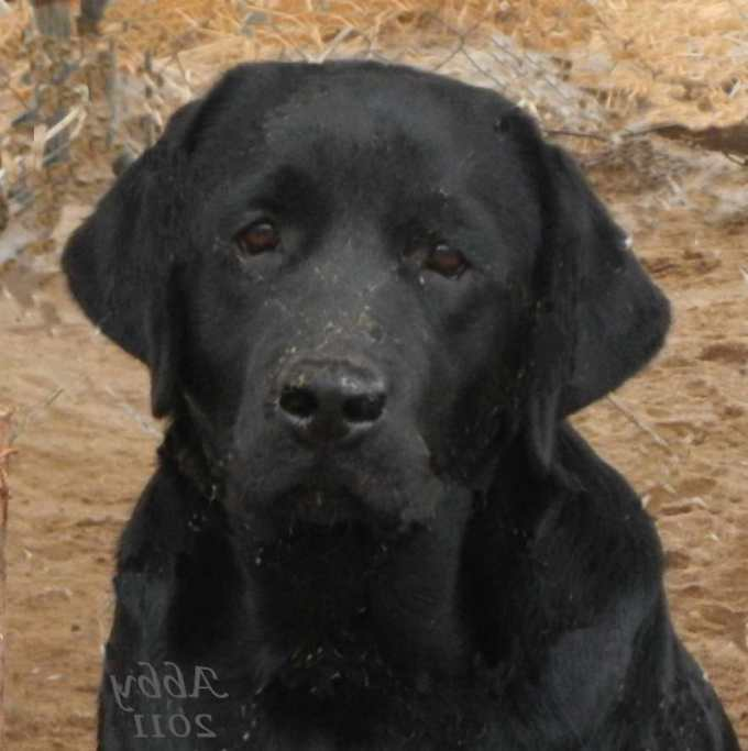 English Labrador Breeders Northern California