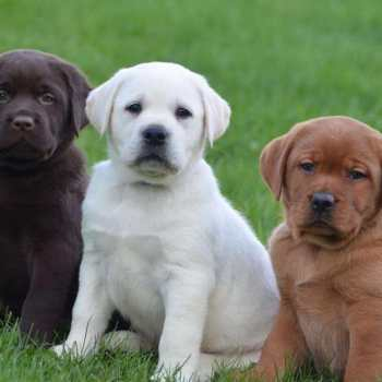 English Labrador Puppies For Sale