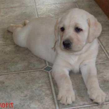 English Labrador Puppies Michigan