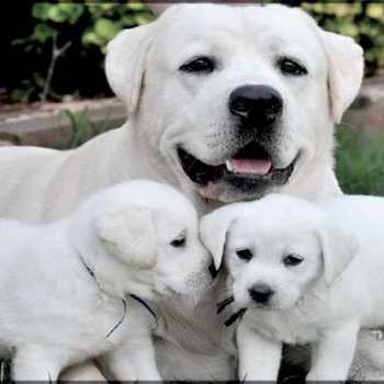 English Labrador Retriever Breeders Colorado