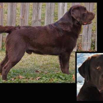 English Labrador Retriever Breeders Va