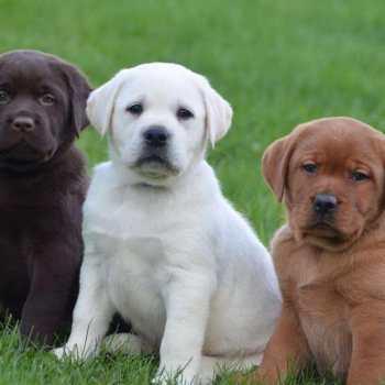 English Labrador Retriever Puppies For Sale