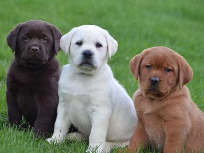 English Labrador Retriever Puppies For Sale
