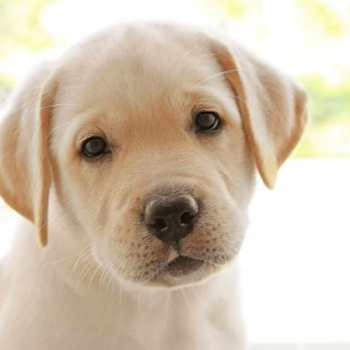 Female Labrador Puppy