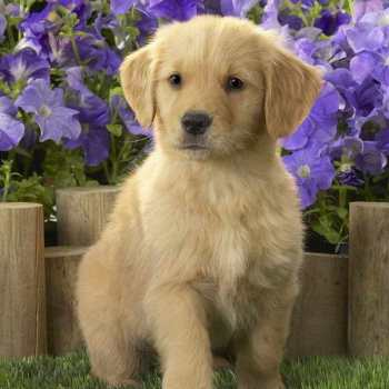 Fluffy Labrador Puppy