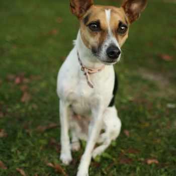 Fox Terrier Jack Russell Mix