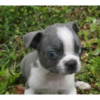 Free Boston Terrier
