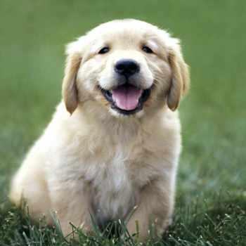 Free Golden Retriever Puppy