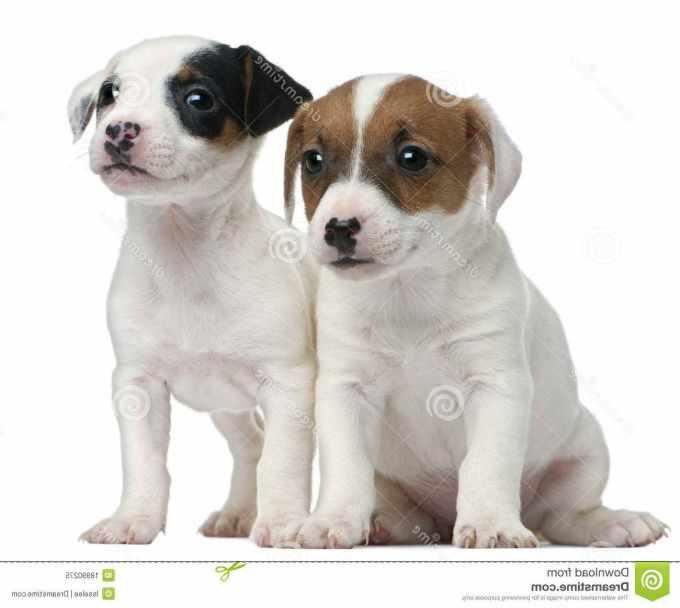 Free Jack Russell Terriers