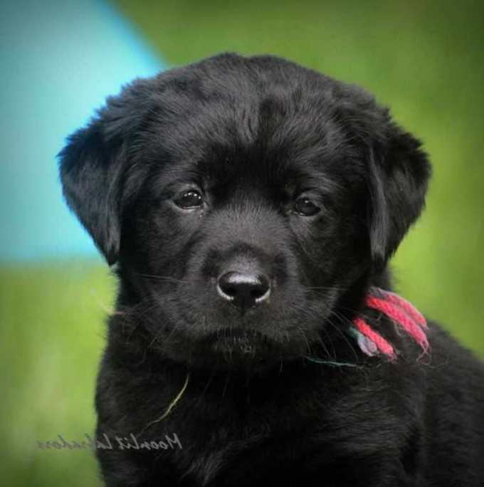 Full Breed Labrador Retriever Puppies For Sale