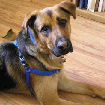 German Shepherd Dog Labrador Retriever Mix