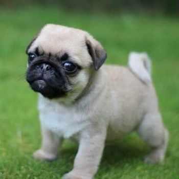 Comprar Pug