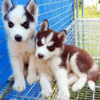Copper Husky Puppies For Sale