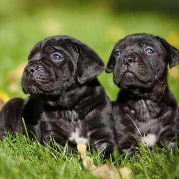 Corso Cane Mastiff Puppies For Sale