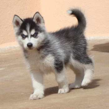 Cost Of Husky Puppies