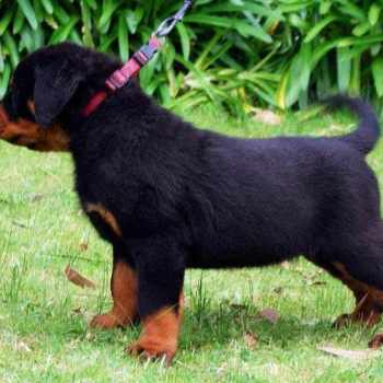 Cost Of Rottweiler Puppies
