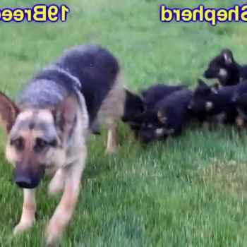 Craigslist Houston Pets German Shepherd