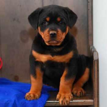 Craigslist Rottweiler Puppies For Sale