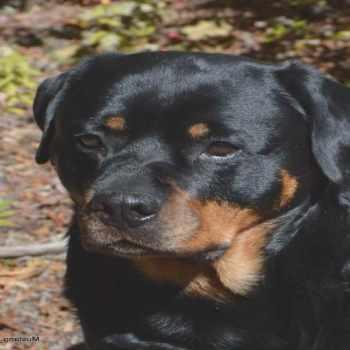 Craigslist Rottweiler Puppies