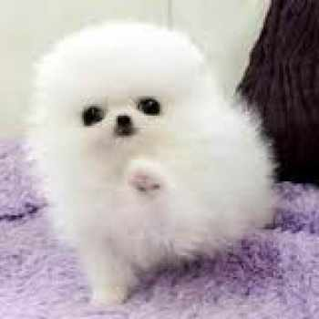 Cute Pomeranian Puppies For Sale