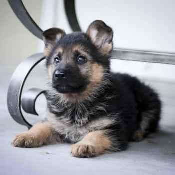 Cute Puppies German Shepherd
