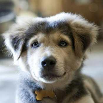 Cutest Husky Mixes