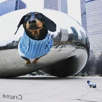 Dachshund Chicago