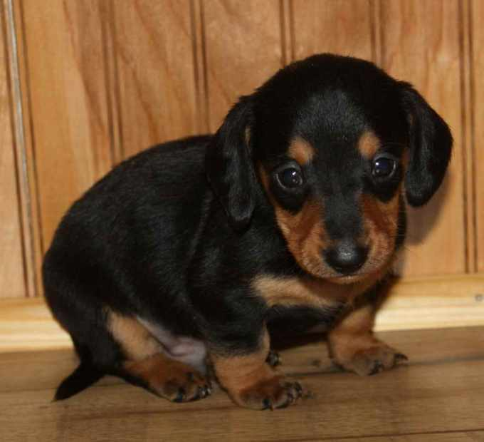 Dachshund Puppies For Sale In Oklahoma City
