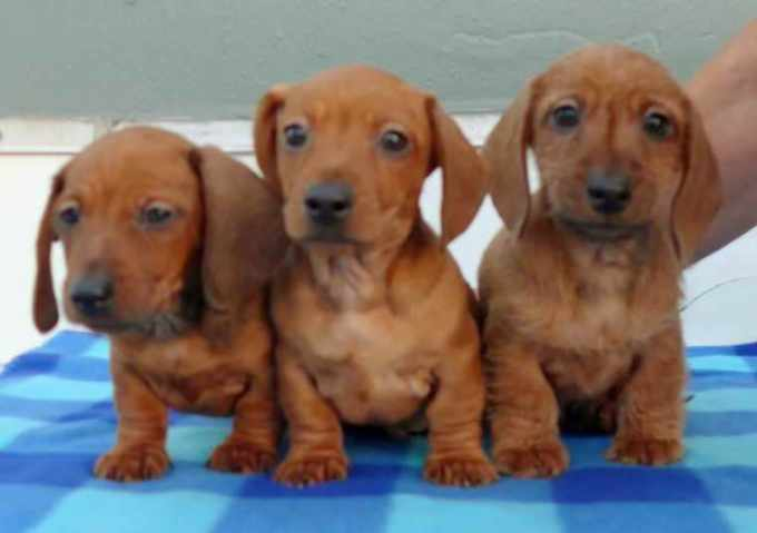 Dachshund Puppies For Sale In Pa Under $300