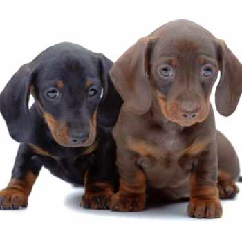 Dachshund Puppies For Sale In Virginia