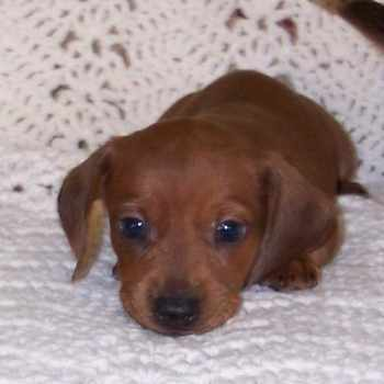 Dachshund Puppies For Sale Okc