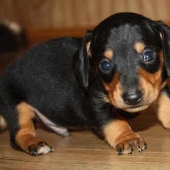 Dachshund Puppies Oklahoma