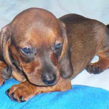 Dachshund Puppies Tampa Florida