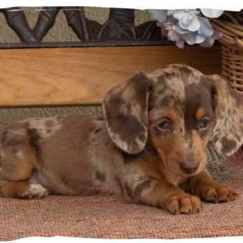 Dachshund Puppies Wv